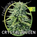 Crystal Queen (Vision Seeds) femminizzata