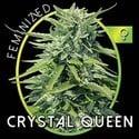Crystal Queen (Vision Seeds) femminizzata