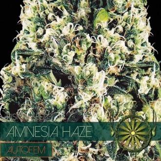 Amnesia Haze Autoflowering (Vision Seeds) feminisiert