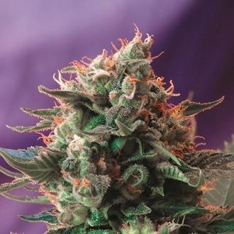 Jack 47 (Sweet Seeds) femminizzata