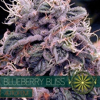 Blueberry Bliss Autoflowering (Vision Seeds) feminized