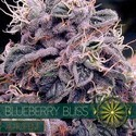 Blueberry Bliss Autofiorente (Vision Seeds) femminizzata