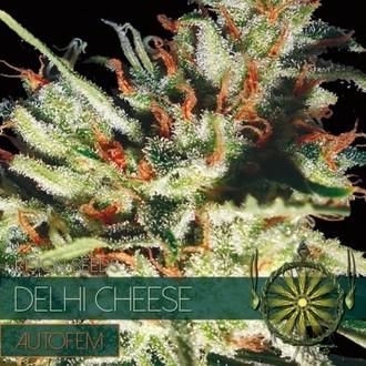 Delhi Cheese Autoflowering (Vision Seeds) feminisiert