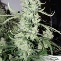 AutoUltimate (Dutch Passion) feminized