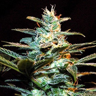 Ice Cool (Sweet Seeds) feminized