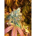 Sour Secret (DNA Genetics) feminized