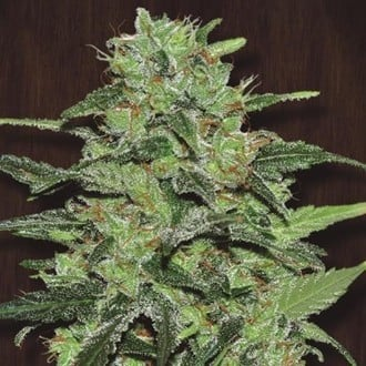 Malawi (ACE Seeds) feminized