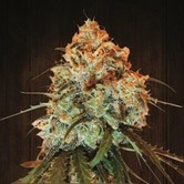 Golden Tiger (ACE Seeds) feminized