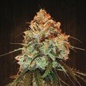 Golden Tiger (ACE Seeds) femminizzata