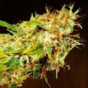 Zamaldelica (ACE Seeds) feminized