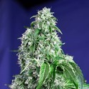 Big Devil - F1 Fast Version (Sweet Seeds) feminisiert