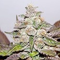 Mendocino x Purple Kush (Medical Seeds) feminized