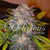 Caramelo (Delicious Seeds) feminized