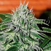 Critical Jack Herer (Delicious Seeds) feminisiert
