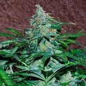 Amnesia Ryder (World of Seeds) feminized