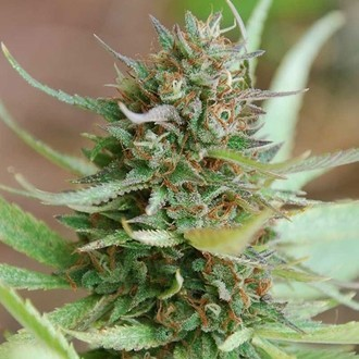 Strawberry Blue (World of Seeds) feminisiert