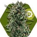 Amnesia Haze XL Autoflowering (Zambeza) femminizzata