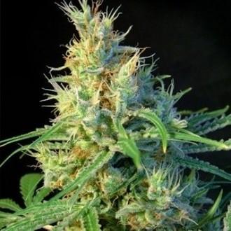 Psicodelicia (Sweet Seeds) feminized