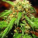 Sweet Tai (Sweet Seeds) feminized