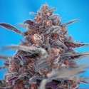 Devil Cream Auto (Sweet Seeds) feminized