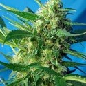 Ice Cool Auto (Sweet Seeds) feminisiert
