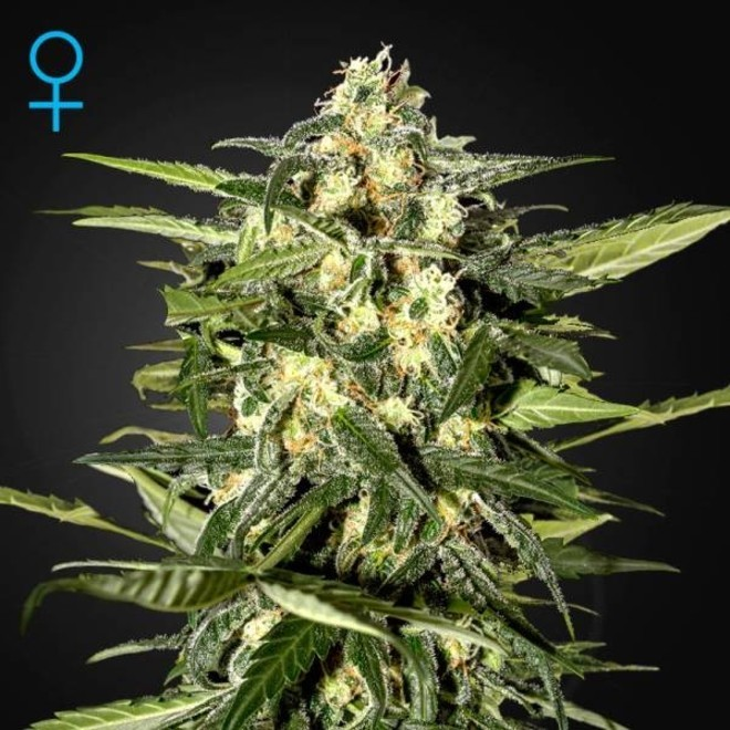 Jack Herer Auto (Greenhouse Seeds) feminized