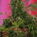 Snow Fruit (Sweet Seeds) feminized