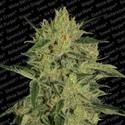 Nebula II CBD (Paradise Seeds) feminized