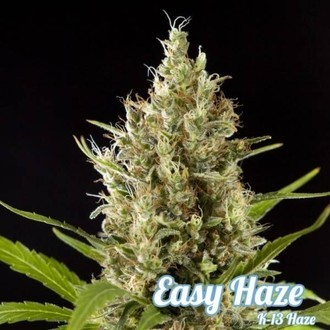 Easy Haze (Philosopher Seeds) feminisiert