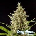 Easy Haze (Philosopher Seeds) feminisiert