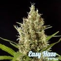 Easy Haze (Philosopher Seeds) femminizzata