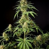 Gokunk (Philosopher Seeds) feminized