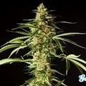 Philo Skunk (Philosopher Seeds) feminized