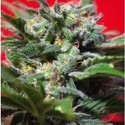 Ganesh Spirit (Sweet Seeds) feminized