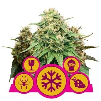 Feminisierter Mix (Royal Queen Seeds)