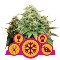 Mix Femminizzato (Royal Queen Seeds)