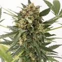 Kush-n-Cheese Autoflowering (Dinafem) feminisiert