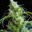 Flash Back 2 (Sweet Seeds) feminized