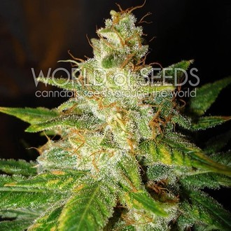 New York Special (World of Seeds) feminized