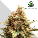 Juicy Lucy (Auto Seeds) feminisiert