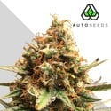 Auto Pounder with Cheese (Auto Seeds) feminisiert