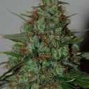 Wild Thailand Ryder Auto (World of Seeds) feminized