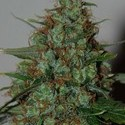 Wild Thailand Ryder (World of Seeds) feminized