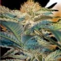 Mohan Ram (Sweet Seeds) feminized