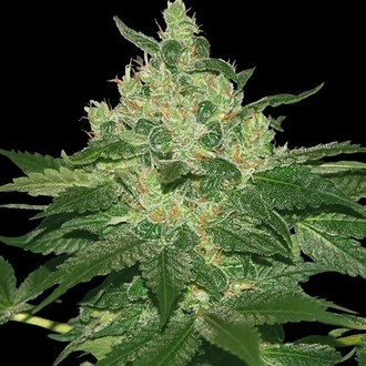 Afghan Kush (World of Seeds) feminisiert