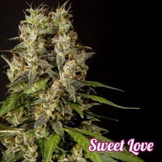 Sweet Love (Philosopher Seeds) feminized