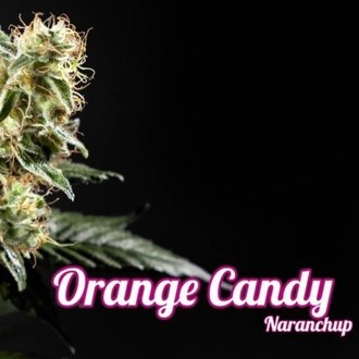 Orange Candy (Philosopher Seeds) femminizzata