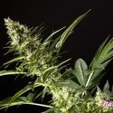 Orange Candy (Philosopher Seeds) feminisiert
