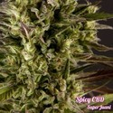 Spicy CBD (Philosopher Seeds) feminisiert