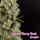 Guayita (Philosopher Seeds) feminized